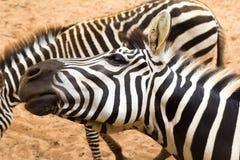 Zebra brincalhão Foto de Stock Royalty Free