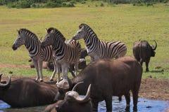 Zebra & Buffalo. Zebra and Buffalo at the drinking hole Stock Images