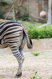Zebra bum Stock Photos