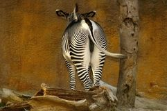 Zebra Bum & Wall. A patient zebra stands infront of a wall Royalty Free Stock Photo