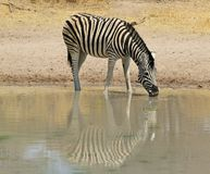 Zebra, Burchell - in bianco e nero Immagine Stock Libera da Diritti
