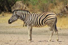 Zebra, Burchell's - Black and White Pride Stock Image