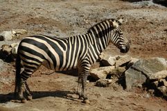 Zebra, Burchell's  (Equus Burchellii). The wild horse of Africa, found in Eastern & Southern Africa Royalty Free Stock Photo