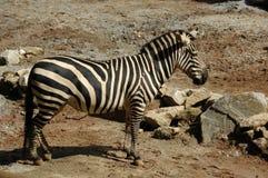 Zebra, Burchell's  (Equus Burchellii) Royalty Free Stock Photo