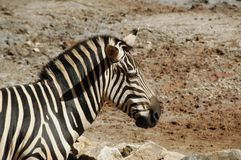 Zebra, Burchell's  (Equus Burchellii). The wild horse of Africa, found in Eastern & Southern Africa Royalty Free Stock Image
