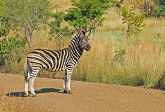 Zebra. Burchell's Zebra (Equus quagga burchelli) in Mosi-Oa-Tunya National Park, Zambia Royalty Free Stock Images