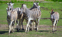 Zebra. Burchell zebranis a southern subspecies of the plains zebra. Named after the British explorer and naturalist William John Burchell. Common names include Royalty Free Stock Photo