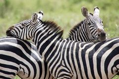 Zebra (burchelli do Equus) Imagem de Stock Royalty Free