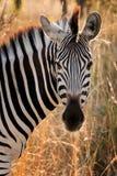 Zebra (burchelli do Equus) Imagens de Stock Royalty Free