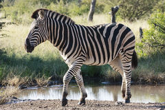 Zebra. A Burchells Zebra in the kruger National Park Royalty Free Stock Photo