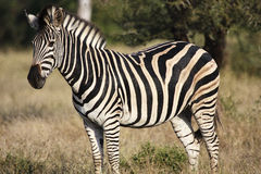 Zebra. A Burchells Zebra in the kruger National Park Stock Photography