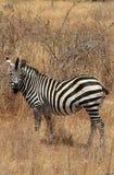 Zebra in bush Stock Photography