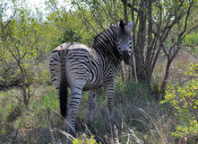 Zebra in the bush Royalty Free Stock Images