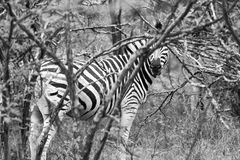 Zebra in the Bush in South Africa Royalty Free Stock Image