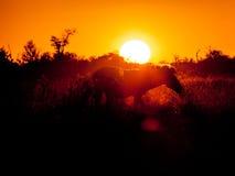 Zebra in the bush Stock Image