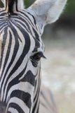 Zebra Butt Stock Image
