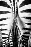 Zebra butt, tail Royalty Free Stock Images