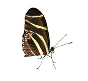 Zebra Butterfly Royalty Free Stock Images