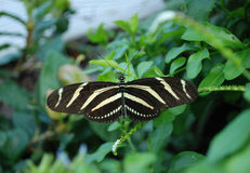 Zebra butterfly. Butterfly Conservatory at Niagara Falls, Canada Stock Photos