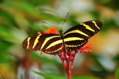The Zebra Butterfly. Of central and south america feeding off a tropical flower Royalty Free Stock Photography