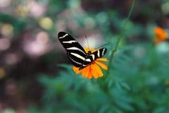 Zebra butterfly Royalty Free Stock Image