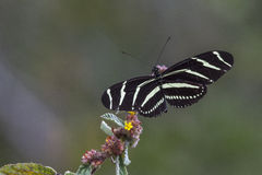 Zebra Butterfly. A black and yellow long winged zebra butterfly feeds on wildflowers in Everglades National Park stock images