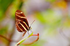 Zebra butterfly, Florida Stock Image