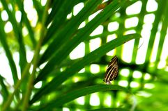 Zebra butterfly on long leaf in aviary Stock Photo