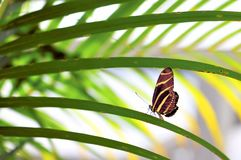 Zebra butterfly on long leaf Royalty Free Stock Photo