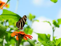 Zebra butterfly on marigold Stock Images