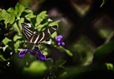 Zebra Butterfly royalty free stock photography