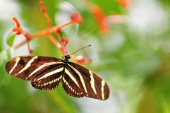 Zebra butterfly on red flowers Stock Images