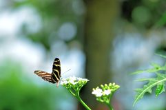 Zebra butterfly on white flowers in aviary Royalty Free Stock Image