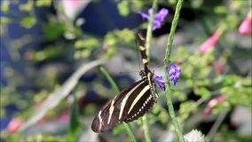 Zebra butterfly yellow black. (Heliconius charithonia stock video footage