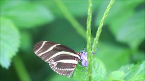 Zebra butterfly yellow black. Heliconius charithonia stock footage
