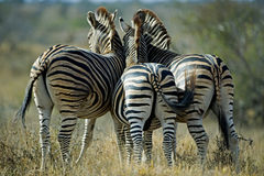 Zebra Butts Royalty Free Stock Photos