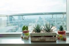 Zebra cactus in wood basket Royalty Free Stock Photo