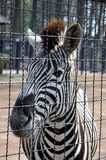 Zebra in cage Stock Images