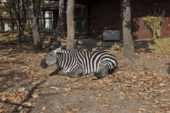 Zebra in cage at ZOO Bor Serbia 02. Zebra laying on the sun under the trees Stock Photos