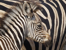 Zebra calf. Camouflaged against mother Stock Image
