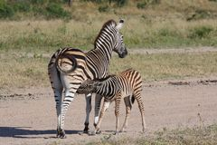 Zebra and calf Stock Images