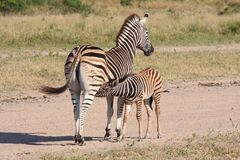 Zebra and calf Stock Photo