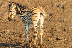 Zebra Calf Animals Colors Royalty Free Stock Photos