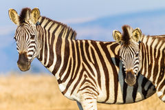 Zebra Calf Animals Wildlife Colors. Zebra with its year old calf alert in morning light wildlife park reserve Royalty Free Stock Photo