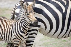 Zebra calf (Equus burchellii) Stock Photo