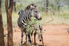Zebra calf (Equus burchellii) Royalty Free Stock Photos