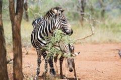 Zebra calf (Equus burchellii) royalty free stock photos