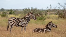 Zebra and calf photographed in the bush at Kruger National Park, South Africa. Zebras photographed in the bush at Kruger National Park, Mpumalanga, South Africa stock photo