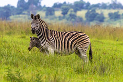 Zebra Calf Protect. Zebra female keeps its young calf colt on the blind side of her body to protect while looking alert for predators Stock Photo