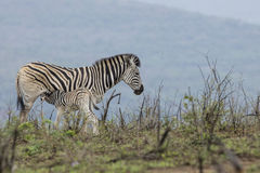 Zebra and calf South Africa Royalty Free Stock Images